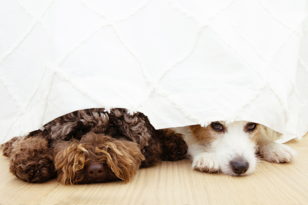 dogs with anxiety peering from under a bed