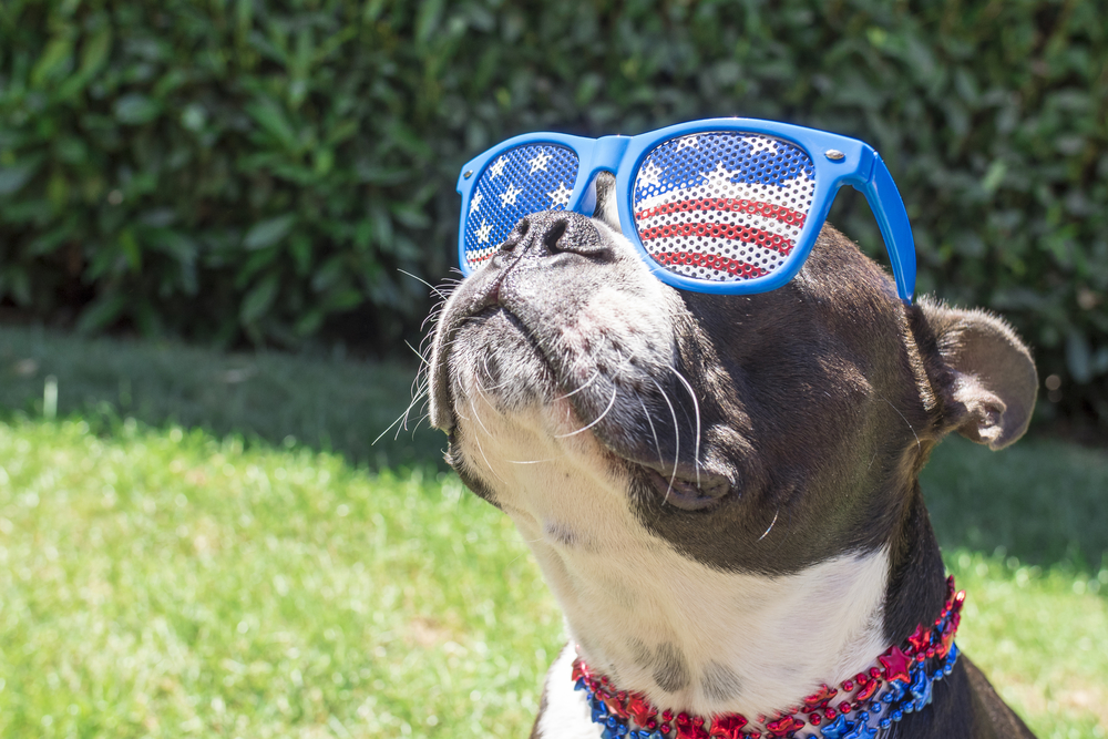 Dog wearing fourth of July glasses