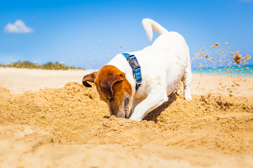 A Terrier is digging on the beach in the sand