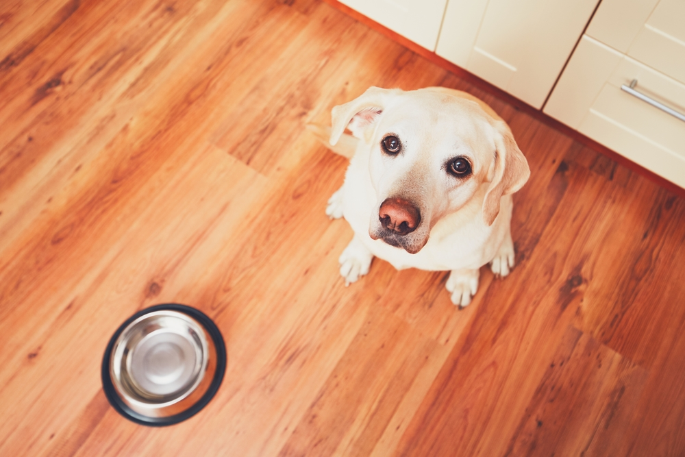 Dog waiting patiently for food in empty bowl.