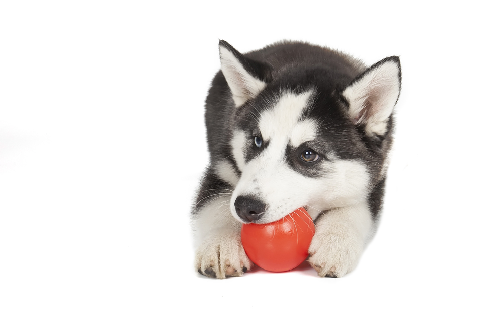 Husky pup with favorite ball toy.