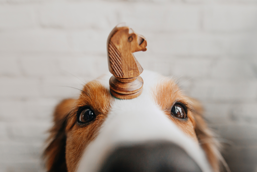 A dog with a chess piece on his nose