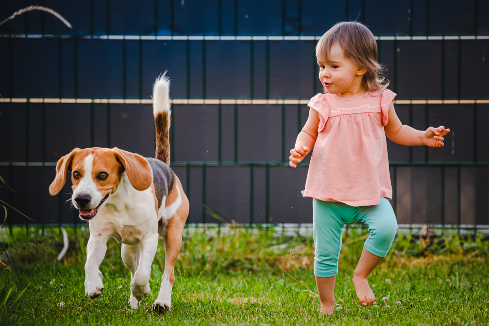 a beagle and a toddler are running in the yard