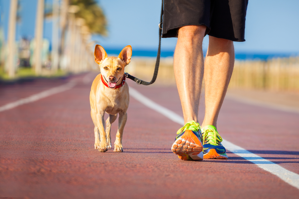 A man walking a small dog with a slack leash on a track.